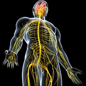 Sistema Nervioso Neurovegetativo Entérico (I): Estructura y Función Por: BrianMariños