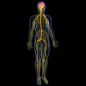Sistema Nervioso Neurovegetativo Entérico (II): Interacciones y Comunidad Intestinal Por: BrianMariños