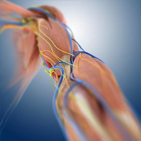 Mecanismos Moleculares Involucrados en la Pérdida de Tejido Muscular en la Sarcopenia Por: RicardoRendón